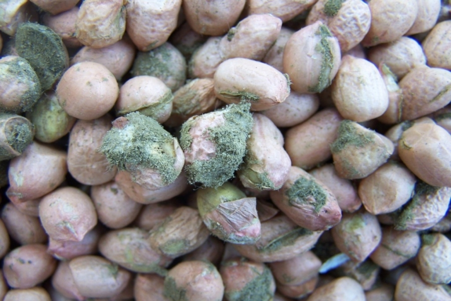 Peanuts: Researchers Make Breakthrough in Fighting Aflatoxins