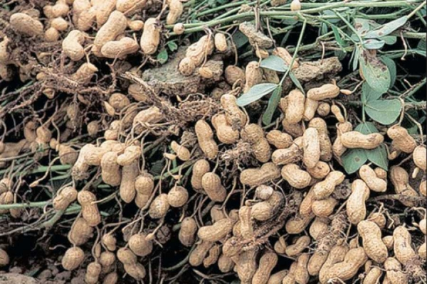 SOMA puts Gujarat's groundnut crop at 30 lakh tonnes for 2019-20