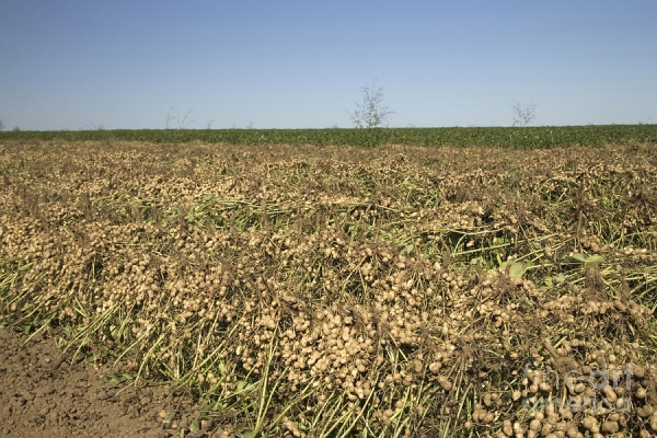 Farmers Post Record Crop for Soybeans, Peanuts, Canola, Hops