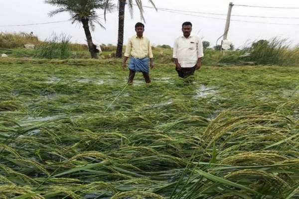 Paddy, groundnut crops hit by heavy rain