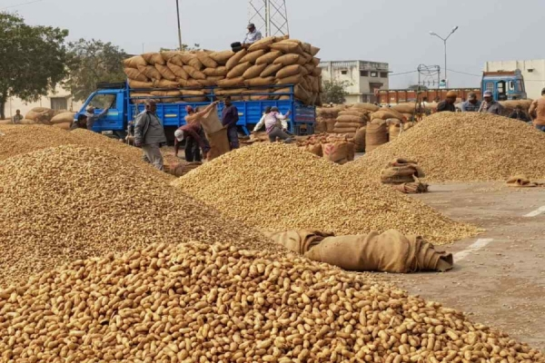 Gujarat may see surge in groundnut sowing