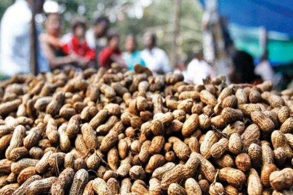 Low Prices, Delayed Procurement, Bumper Crop Put Karnataka's Groundnut Farmers in a Spot
