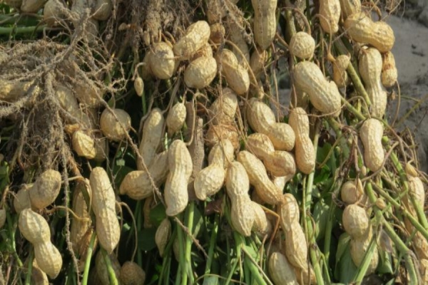 Excess supply puts peanuts in holding pattern