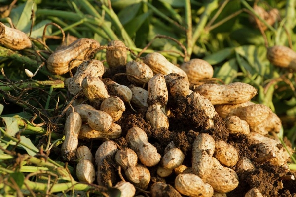 Gujarat groundnut stocks bought at MSP fail to find buyers