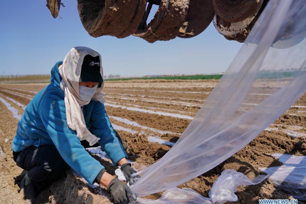 Spring sowing in progress for peanut farms in Luanzhou, Hebei