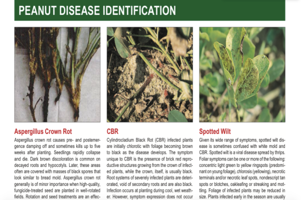 Peanut disease identification